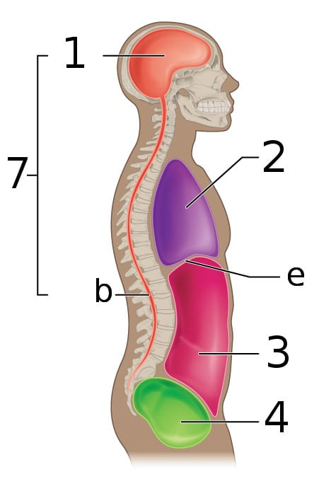 Body cavities from the side