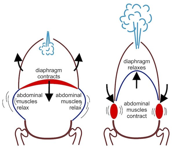 Breathing action with core + diaphragm